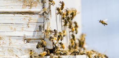Pszczoły są wyjątkowe