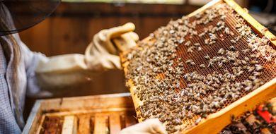 Pszczoły atakuje zmutowany wirus roślinny