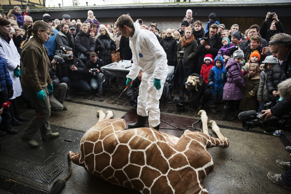 Pracownik zoo �wiartuje �yraf� na oczach dzieci
