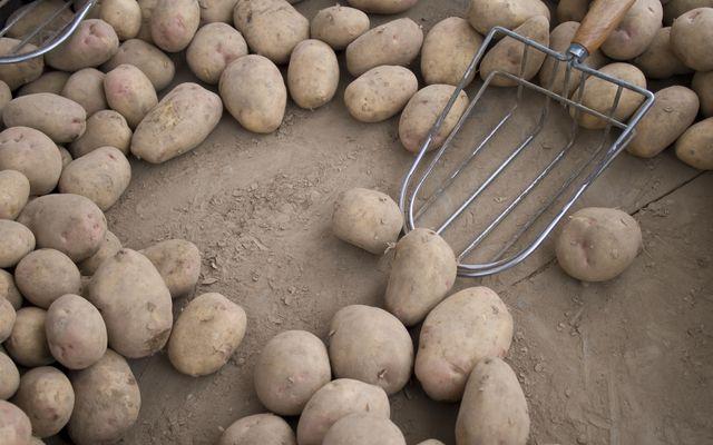 Ziemniak GMO jest odporny na zarazę