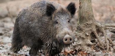 Wirus afrykańskiego pomoru świń nie powoduje ...