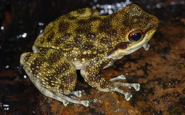 Żaba szablozębna