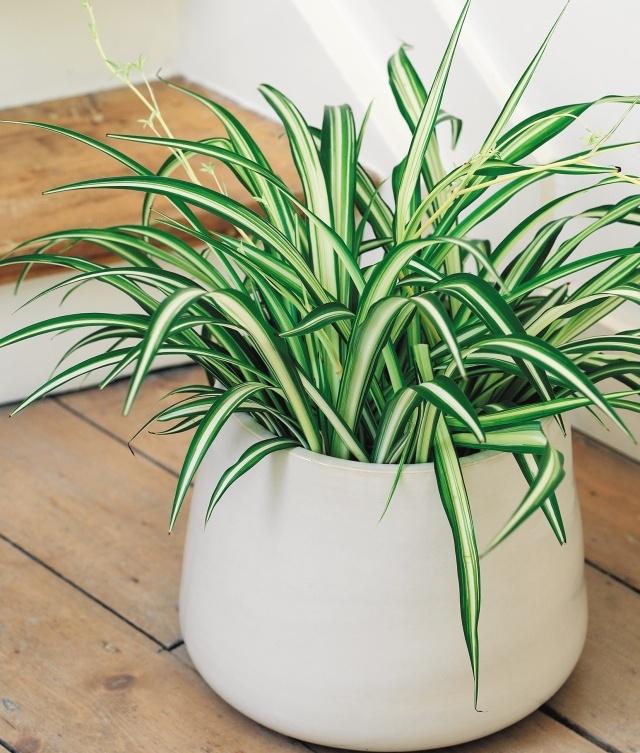 zielistka ro liny oczyszczaj ce powietrze w domu wp dom. Black Bedroom Furniture Sets. Home Design Ideas