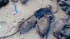 Pakistańczyk sam walczy ze szczurami