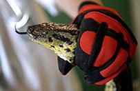 Trzymetrowa anakonda znaleziona na polu niedaleko Rzeszowa
