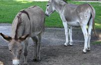 Osio�ki z pozna�skiego zoo znowu razem! W�adze ogrodu przepraszaj� za seks-skandal