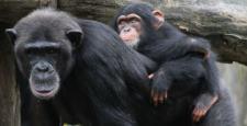 Śniadanie szympansa wymaga niezłego kombinowania