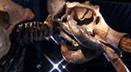 Na aukcji sprzedano szkielet mamuta