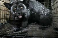 Drastyczny film - w ten spos�b przetrzymuj� lisy na wielkopolskich fermach