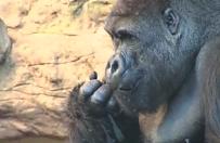 Goryl zabity przez zoo, gdy 4-letni ch�opiec wtargn�� na wybieg