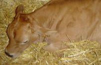 Choroba niebieskiego j�zyka u ciel�t pod Gostyniem - ubito 150 zwierz�t
