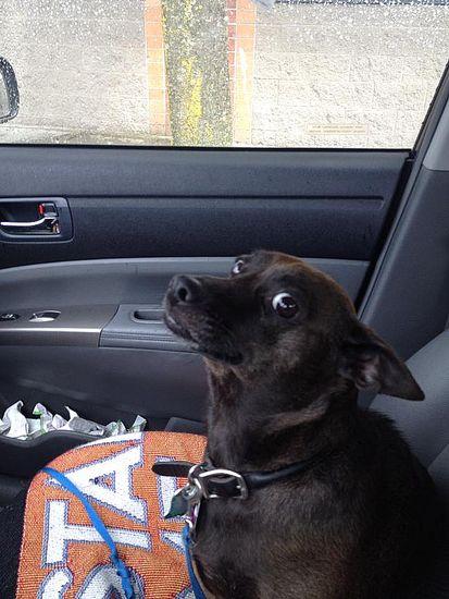 Psy które dowiedziały się że jadą do weterynarza