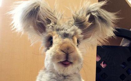 Najsłodszy królik internetu. Ale uszy!