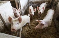 Dlaczego Polacy będą zabijać i palić zdrowe świnie?