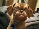 Earl - nowy Grumpy Dog