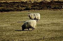 Na Islandii w tajemniczy spos�b umieraj� tysi�ce owiec