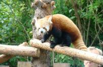 Dwie pandy czerwone trafi�y do �l�skiego Ogrodu Zoologicznego w Chorzowie