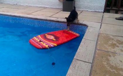 Ten pies potrafi surfować
