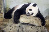 Panda wielka w zoo w Waszyngtonie urodzi�a m�ode
