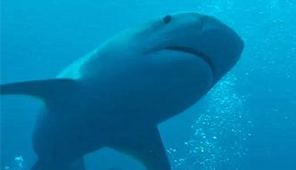 Nurkowie przeżyli bliskie spotkanie z rekinami tygrysimi
