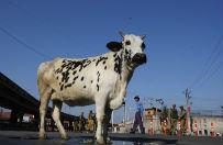 Wojna o krowy w Indiach. Zaostrzaj�cy si� sp�r ideologiczny o symbol kraju zbiera krwawe �niwo