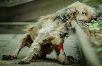 Wyrzucony z drugiego pi�tra pies powoli wraca do zdrowia