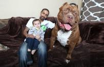 Oto Hulk, najwi�kszy Pitbull na �wiecie. Wa�y a�... 80 kilogram�w, a obw�d jego g�owy ma ponad 70 cm!