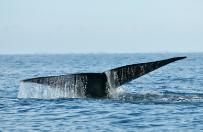 Wieloryb uratowany w Zatoce Gda�skiej