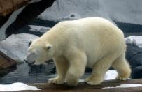 """""""Najsmutniejszy mi� polarny na �wiecie"""" wystawiony na wystawie w chi�skim centrum handlowym"""