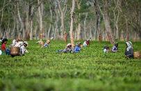 Herbata za najwy�sz� cen�. W Indiach, w stanie Assam, kobiety w ci��y niejednokrotnie pracuj� na plantacjach a� do rozwi�zania. Przy porodzie umieraj� prawie dwa razy cz�ciej ni� ich rodaczki