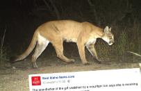 Puma pr�bowa�a upolowa� czterolatk�. Rodzicom uda�o si� uwolni� dziewczynk�