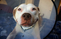 Oto Brinks - najbardziej uroczy pitbull, kt�ry od momentu adopcji nie przestaje... si� u�miecha�