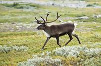 W Norwegii znaleziono 300 martwych renifer�w