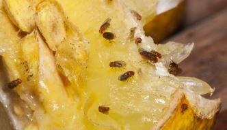 Domowy sposób na muszki owocówki