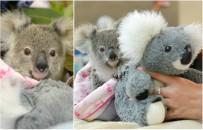 9-miesi�czny koala tuli si� do pluszowej zabawki. Tak osierocony Shayne walczy z traum� po utracie matki