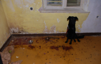 Szokuj�ce odkrycie policji w domu 22-latka. Trzyma� psa na kr�tkiej smyczy przybitej do pod�ogi