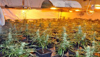 Policjanci zlikwidowali ogromną plantację marihuany