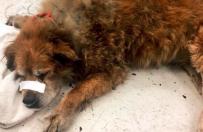 Pies-bohater uratował swoją właścicielkę z pożaru domu. Przykrył ją własnym ciałem, by ochronić przed płomieniami