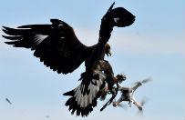 Francuska armia wykorzystuje orły. Walczą z dronami