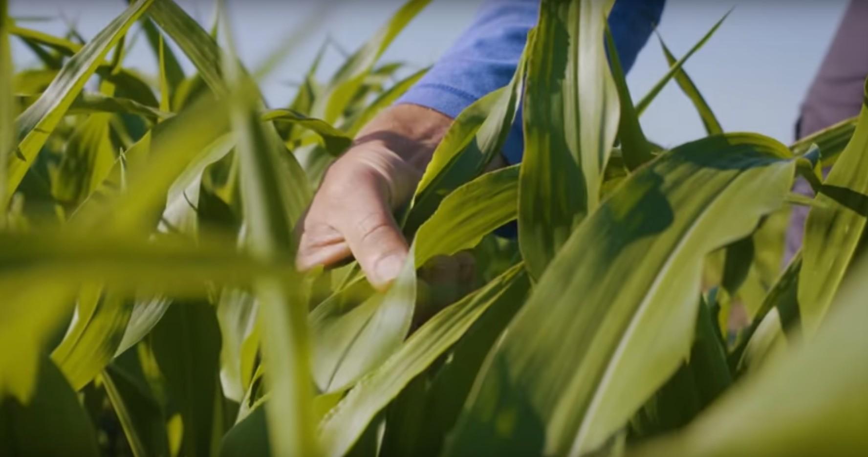 Niezwykły sposób na wykorzystanie pola kukurydzy