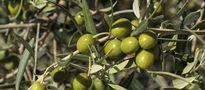Skandal z fałszowaniem oliwy i sztucznym barwieniem oliwek we Włoszech