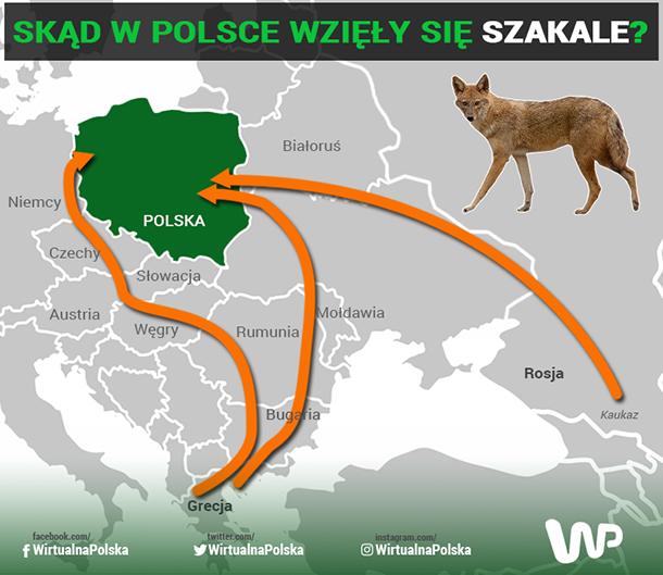 Szakale zamieszkały w Polsce